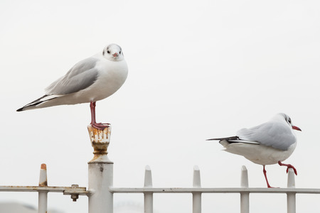 Two seagulls on the white fence