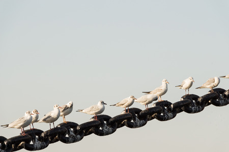 seagulls rest on a big chain