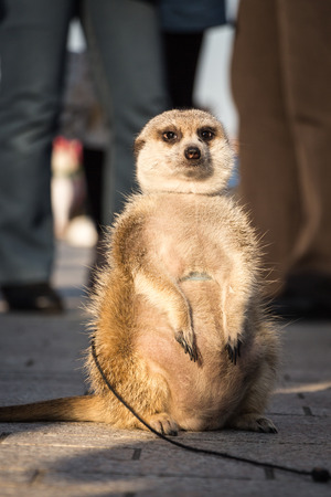 a meerkat as a pet sit on the ground
