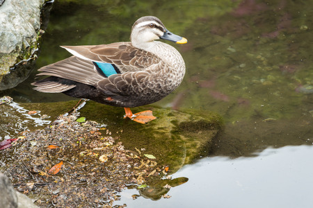 a duck stands beside a pond Stock Photo