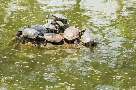 Turtles rest on a rock in a pond