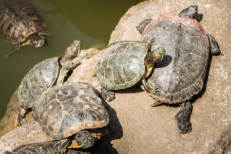 Turtles climb from a pond to the bank