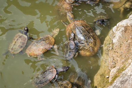 Turtles swimming in a pond photo