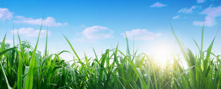 Spring and grass background. Spring summer background with fresh green grass and blue sky in nature. Panoramic view, copy space. Stockfoto