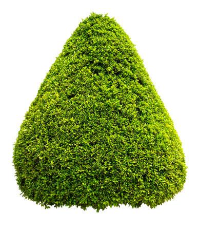 ficus tree bush on white background. tree decorative on white background plant or tree isolated