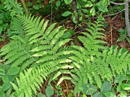 groundcover: Fern