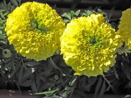 poster bed: Two yellow marigolds
