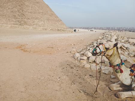 A camel near Great Pyramid at Giza, Egypt