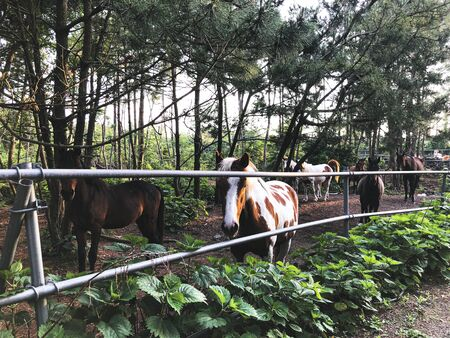 The horse is in the paddock on Jeju island. South Korea