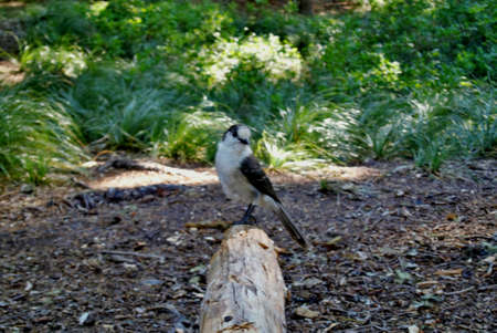 grey jay standing on a log trying to get my lunch Stock Photo