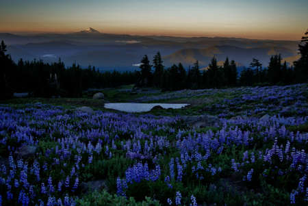 meadow of lupine overlooking a valley with large snow covered mountain