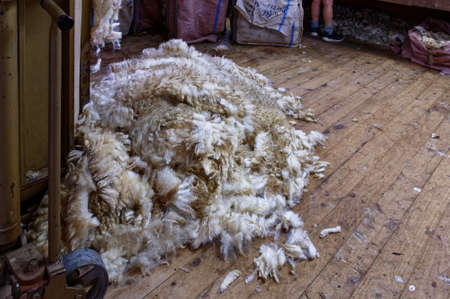 A newly shorn fleece waits to be bailed in a shearing shed Stok Fotoğraf