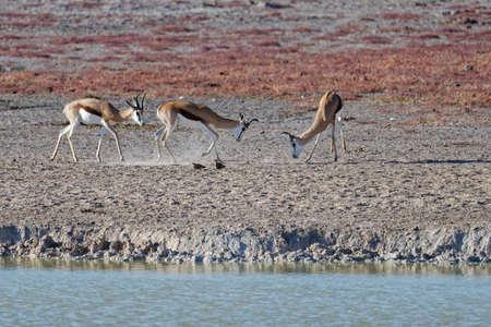 Three springbok