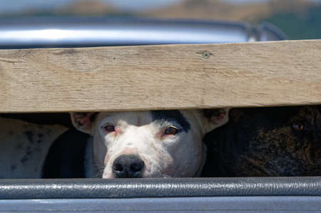 A dog looks out of its crate on the back of a ute or pickup truck