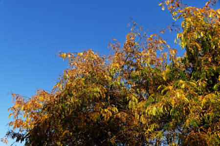 A bright blue sky is the backdrop for autumn leaves on a tree Stok Fotoğraf