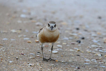 Adult New Zealand dotteral