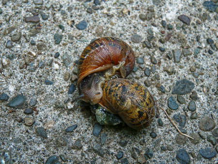 Garden snails mating on concrete Stock Photo