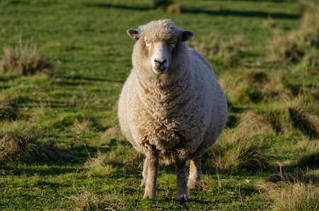 A sheep stands in a green paddock staring at the camera
