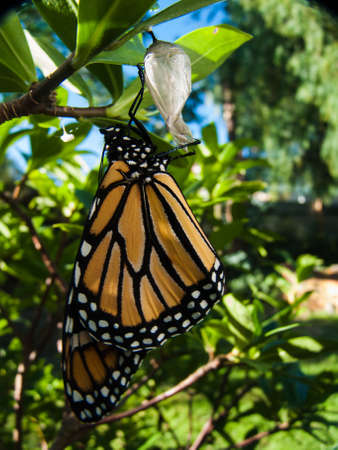 A beautiful, new monarch butterfly still hanging on the chrysalis that it's emerged from.