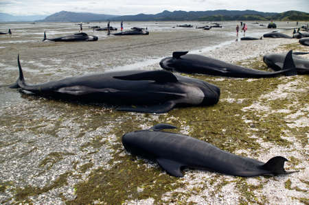 Dead pilot whales during a whale stranding on Farewell Spit in New Zealand's South Island