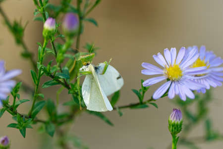 A white butterfly is being eaten by a New Zealand praying mantis Standard-Bild