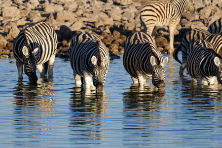 Zebras are wading in water enjoying a drink