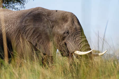 A bull elephant in the Okavango Delta, viewed from a mokoro on the water 免版税图像