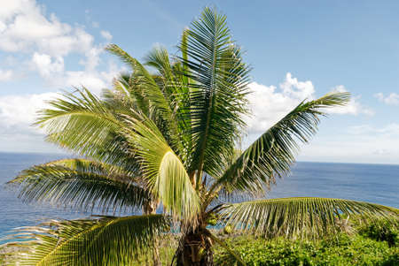 Coconut Palms tower overhead in Niue