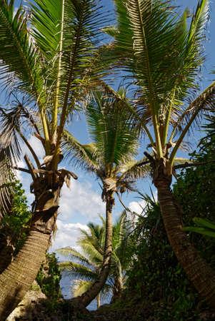 A tropical paradise, coconut palsm reah for the sky