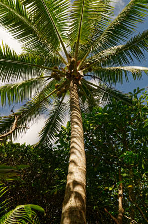 A coconut tree against the sky