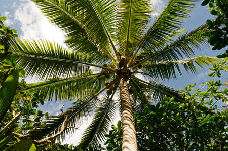 Looking up the trunk of a coconut tree in Niue