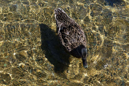 Sunlight dapples the clear fresh water of Lake Rotoiti as a female duck swims by 版權商用圖片