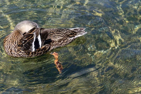 A duck is grooming itself while swimming on clear, fresh water in New Zealand