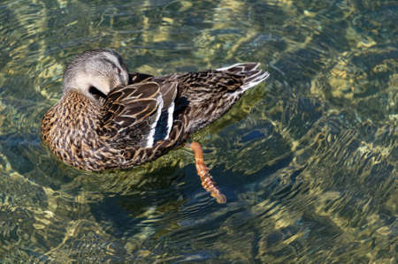 A duck has its head back grooming its feathers while swimming on clear water 版權商用圖片