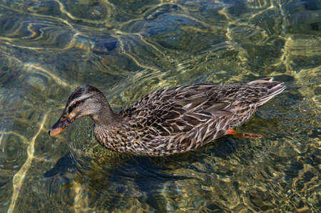 A duck is swimming on the crystal clear, fresh water of Lake Rotoiti in New Zealand
