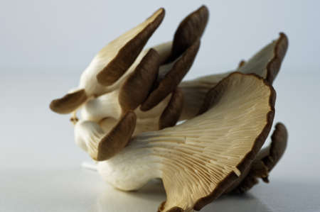 Oyster mushrooms, showing their gills or lamella on the underside, they are different sizes. 版權商用圖片
