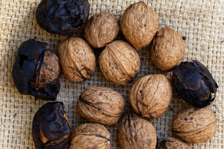 Freshly collected walnuts drying on a hessian sack, some walnuts still have their protected husks and shells