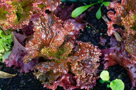 A home garden lettuce patch provides red leaf lettuce ready to pick, an additional salad ingredient 版權商用圖片 - 144681613