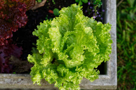 A green leafy lettuce is ready to have the leaves picked to add to a delicious salad