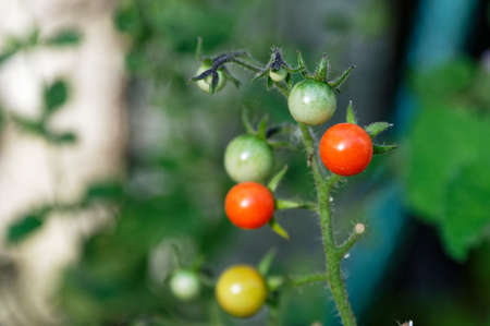 Tomatoes growing in a home garden, ripe and unripe tomatoes are on the same stem