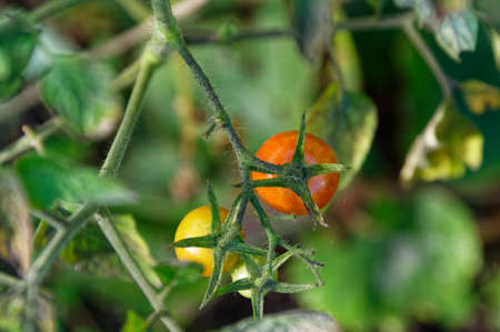 The green star shaped stem that holds are tomato is shown photographed from above 版權商用圖片 - 144681758