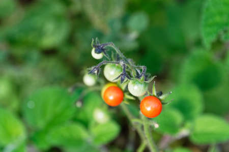 Green, unripe tomatoes grow with red ripe ones on the same stem in a home garden. 版權商用圖片 - 144681705