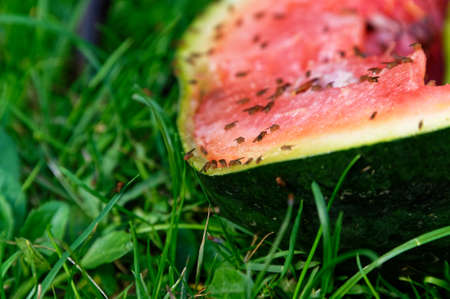 Fruit flies have discovered a fest in this discarded watermelon lying on the lawn