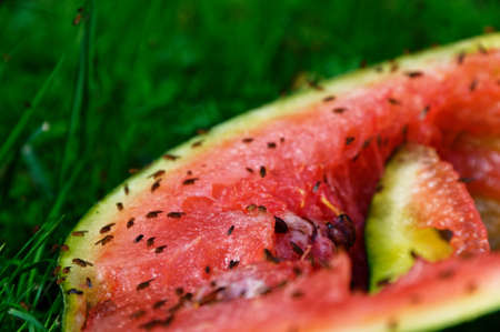 Fruit flies have gathered to feed on a discarded watermelon that is on the green grass