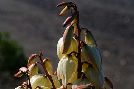 A pale yellow flower on a stalk, with others waiting to bloom. 版權商用圖片