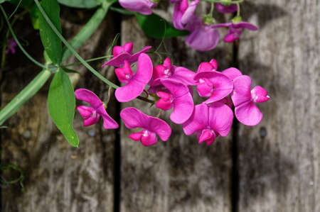 Purple sweet peas against wooden planking