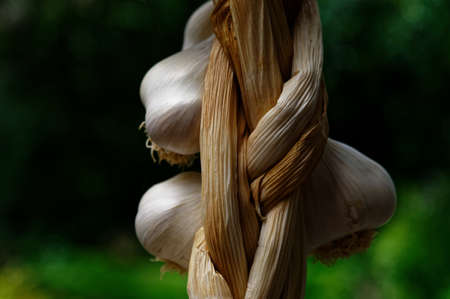 Garlic is drying after being plaited 版權商用圖片