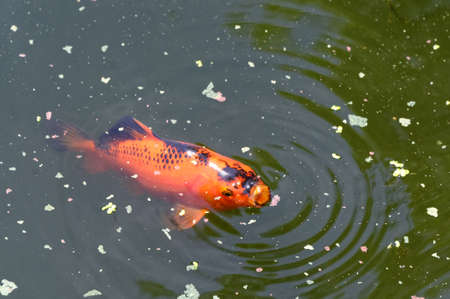 It's dinner time in the pond with a black and gold goldfish at the surface with its mouth open, sucking in food