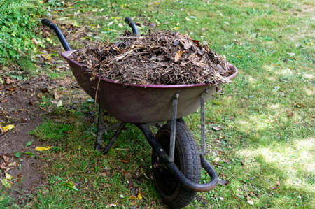 Compost is heaped in a wheelbarrow, waiting to be spread around the garden