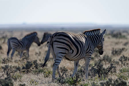 A zebra is walking away from the camera, there are two foals in the back ground.